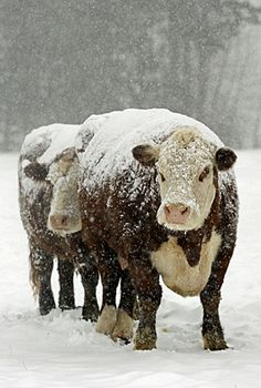 Hereford cows in the snow Farm Animals, Animals And Pets, Cute Animals, Beautiful Creatures, Animals Beautiful, Hereford Cattle, Sweet Cow, Beef Cattle, Cute Cows