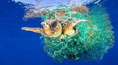 IMAGEM GANHADORA DO WORLD PRESS PHOTO 2017 – A clicada é perfeita, porém dramática: a tartaruga marinha luta pela vida presa a uma rede de pesca nas águas da ilha de Tenerife. O flagrante foi…