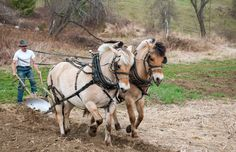 Still Hitching the Plow Big Horses, Work Horses, Horses And Dogs, Dun Horse, Fjord Horse, Horse Carriage, Draft Horses, Horse Girl, Horse Pictures