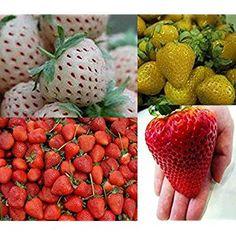 Ananas+Erdbeere winterhart sehr leckere Früchte Weiße Ananas-Erdbeere 50 Samen