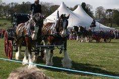 The Milfield Heavy Horse Festival. Clydesdale Horses, Heavy Weights, Animals, Animales, Animaux, Animal, Animais