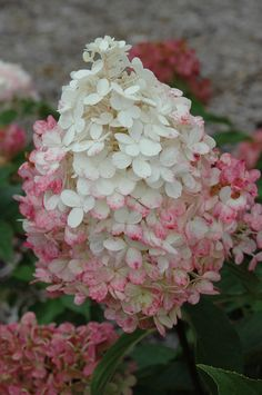Vanilla Strawberry Hydrangea has two toned blooms that look absolutely edible. A great cutting hydrangea, that looks elegant in the landscape or in a vase in your house.