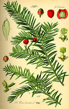 Clan Fraser Plant Badge - When the wearing of tartan was outlawed after the 1745 Jacobite rebellion, clansmen wore their clan's plant badge as an act of defiance and identification. Frasers still wear sprigs of yew in their bonnets.
