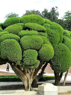 Very shapely trees. Soft looking and friendly. http://johnpirilloauthor.blogspot.com/