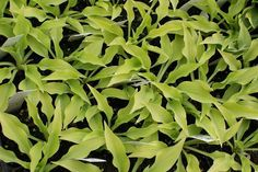 Kiwi Golden Thimble Hosta - Shade Perennial Miniature Hosta Plant