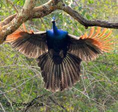 flying peacock - Buscar con Google