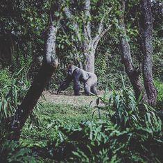 De dimhöljda bergen i Bwindi berggorillornas hemvist - höjdpunkten för många på Contour Air:s #upplevelseresa till #Uganda.  Det här är inte #Kolmården det finns inget stängsel mellan dig och gorillorna du ser på några meters avstånd. En svårslagen och mäktig upplevelse.  Besök vår webbplats för komplett dagsprogram avresedatum resans längd och pris: http://ift.tt/2gRkn0L  #contourairse #litemeravallt #sevärlden #pin #visituganda #afrikaresa #paketresa #rundresa #semester