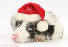 Blue merle Border Collie puppy, Reef, 9 weeks old, wearing a Father Christmas hat.