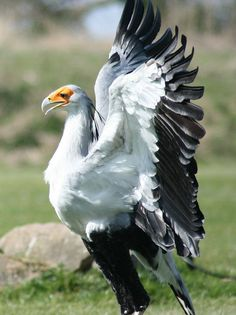 secretary bird  (photo by milvus)