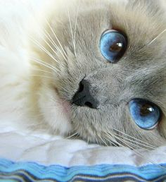 blue, blue eyes, cat, cute, eyes, grey - inspiring picture on Favim.com