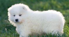 Samoyed. My future puppy!!!