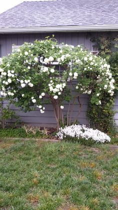 Snowball bush..Shari's garden
