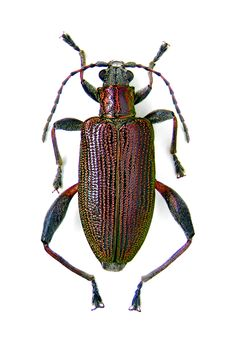 donacia versicolor. Beetles have ridges!