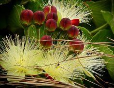 flor de pequi - Pesquisa Google