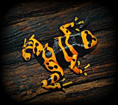 """Dangerous Frog"" Front page Explore#122. May 28,2009 Poison dart frogs By GlossyEye back from Punta Cana"
