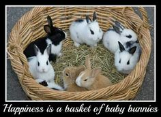 Happiness is a basket of baby bunnies. (12/04/17)