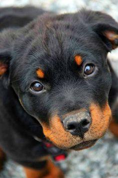 Minha nova paixão RottWeiler. Essa é a Ágata minha filhote de apenas 2 meses!!!! #dog #rottweilerlover #agata