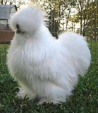 Fuzzy White Chicken  i think 4 to 5 of these would be awesome to have running around the backyard