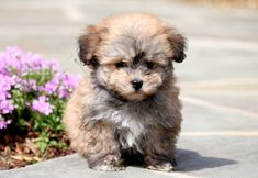 This Havanese puppy is a real doll baby who is social and full of love. He hopes that you don't mind receiving puppy kisses because he loves giving them! Havanese Breeders, Havanese Puppies For Sale, Buy Puppies, Havanese Dogs, Boxer Dogs, Dogs And Puppies, Pugs For Sale, Puppies Near Me, Cute Dog Wallpaper