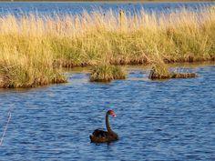 Banks Peninsula - Black Swan
