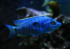 Azureus starting to color up Mais Malawi Cichlids, African Cichlids, Rift Valley, Tanked Aquariums, Freshwater Fish, Tropical Fish, Fish Tank, Taiwan, Fresh Water