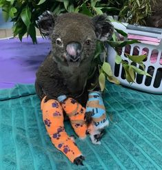 Lewis' lonely last hours: How Koala spent his final moments after bushfire rescue in Port Macquarie Australia Map, Australia Wallpaper, Australia Tattoo, Brisbane Australia, Amazing Animals, Adorable Animals, Port Macquarie, Head In The Sand, Australian Bush
