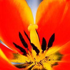 Tulip, Tulipa