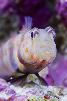 Orange Spotted Prawn Goby by ecatoncheires on Flickr.