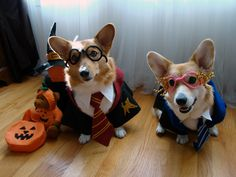Corgi Harry Potter costumes.. so cute... These dogs look stoked to be dressed as Harry and Luna. As well they should.
