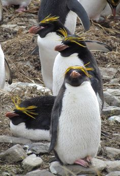 A couple of Macaroni penguins. Macaroni Penguins are the most numerous species of penguins with over 18,000,000 individuals alive today. Like most penguins, Macaroni Penguins will moult once a year, replacing worn-out feathers with new ones.