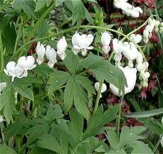 Løjtnantshjerte hvid - blomstrer 2-3 måneder (halvskygge/skygge)