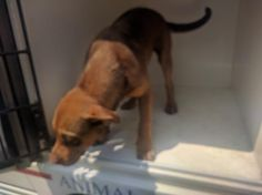 This DOG - ID#A467398 - URGENT - Harris County Animal Shelter in Houston, Texas - ADOPT OR FOSTER - 9 MONTH OLD Female Labrador Retriever mix - at the shelter since Sep 02, 2016.