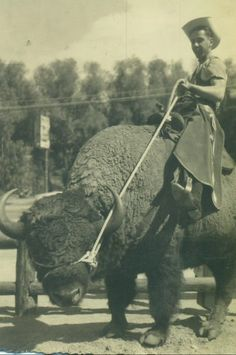 Cowgirl rides buffalo - black and white vintage photo