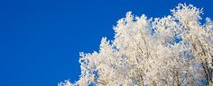 Frost on birch trees (testing Pinterest-button on my homepage) =)
