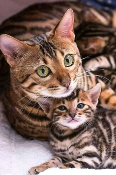 Cute Cats and Kittens Bengal Kittens For Sale, Cute Cats And Kittens, I Love Cats, Crazy Cats, Kittens Cutest, Pretty Cats, Beautiful Cats, Animals Beautiful, Photo Chat
