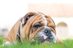english bulldog in the grass