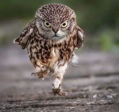 This little Owl is focused and on a mission. Photo by Simon Wantling. [x-post from /r/Awramba] Funny Owls, Funny Birds, Cute Funny Animals, Owl Photos, Owl Pictures, Funny Animal Pictures, Beautiful Owl, Animals Beautiful, Baby Owls