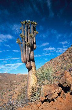 Halfmen (Pachypodium namaquanum) endemic to desert mountains near Orange River, Richtersveld National Park, South Africa