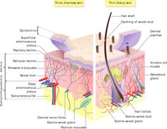 Structure of the Skin: Epidermis