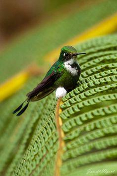 Booted Racket-tail, Ocreatus underwoodii, Mindo Cloud Forest, Ecuador