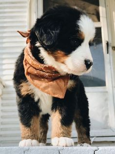 bernese mountain dogs - birds of prey - dogs and puppies Super Cute Puppies, Cute Baby Dogs, Cute Little Puppies, Cute Dogs And Puppies, Cute Little Animals, Cute Funny Animals, Doggies, Puppies Stuff, Puppies Puppies