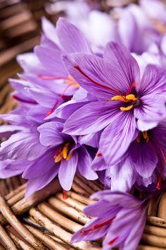 Freshly collected basket of saffron (crocus sativus) flowers grown in my garden CROP.fr