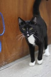 Billy is an adoptable Tuxedo Cat in New York, NY. This young boy is just a lovely classic tux! Hes gentle and sweet and would make a lovely companion for you or your cat! Billy is about a year old, ne...