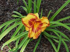 "The ""Hokie Spirit"" daylilly I planted this Spring"