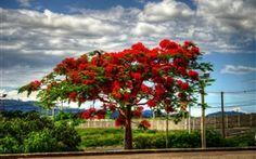 Delonix Baum Blüte, rote Blumen, Wolken, Straße