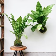 We had some giant Bird's Nest Ferns... so we made some giant kokedama!