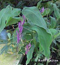 Nome Botanico: Globba winittii C.H.Wright    Nomes Populares : globa-roxa, bailarina    Família : Angiospermae –Família Zinziberaceae    Origem: Tailândia