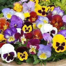 Resultado de imagem para flor amor perfeito wikipedia