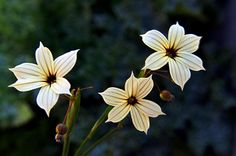 Sisyrinchium chilense (Huilmo), found in Los Angeles
