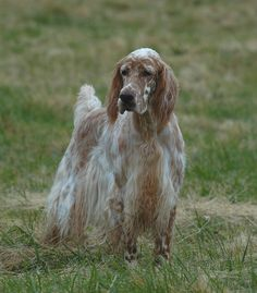 "Amateur Field Champion , Show Champion Set'r Ridge's Everlasting Master Hunter OFA Excellent  ""Sahara""  Eukanuba Bred By Group winner, BOS National , BOS Westminster, Best In Specialty winner and an amazing Hunting Dog. www.englishsetter.com photo by LEE"